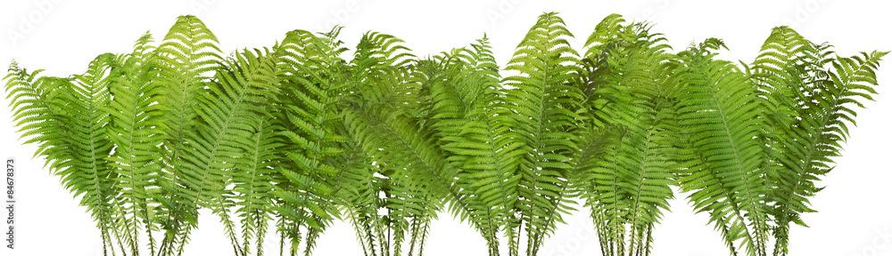 Fototapeta Forest wild fern isolated border