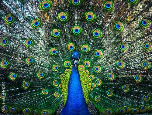 Poster Paon beautiful peacock