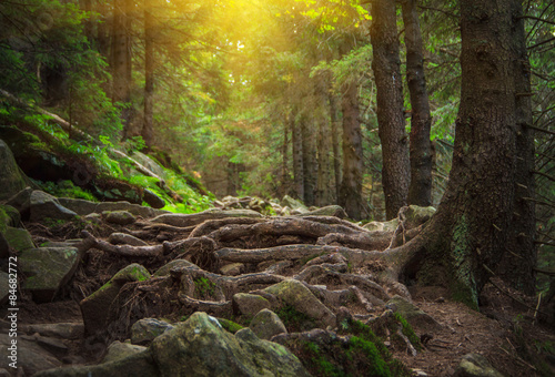 Dense mountain forest and path between the roots of trees.
