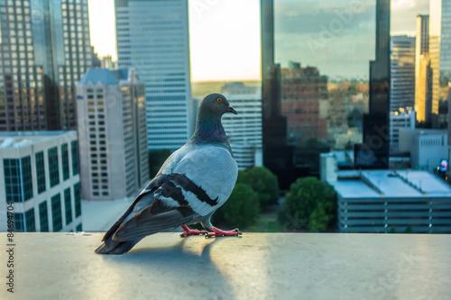 pigeon bird with city skyline in background