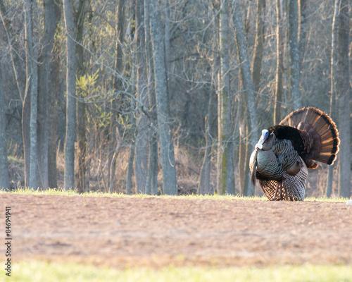 Fotografía Wild Turkey