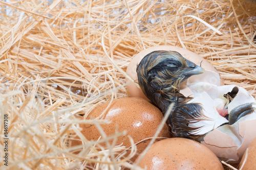 Helpless little chick still wet after hatching Canvas-taulu