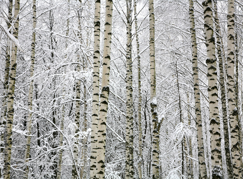 Winter trunks birch trees with snow Poster