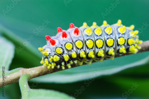 Photo  color butterfly worm