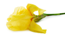 Yellow Iris Isolated On The Wh...