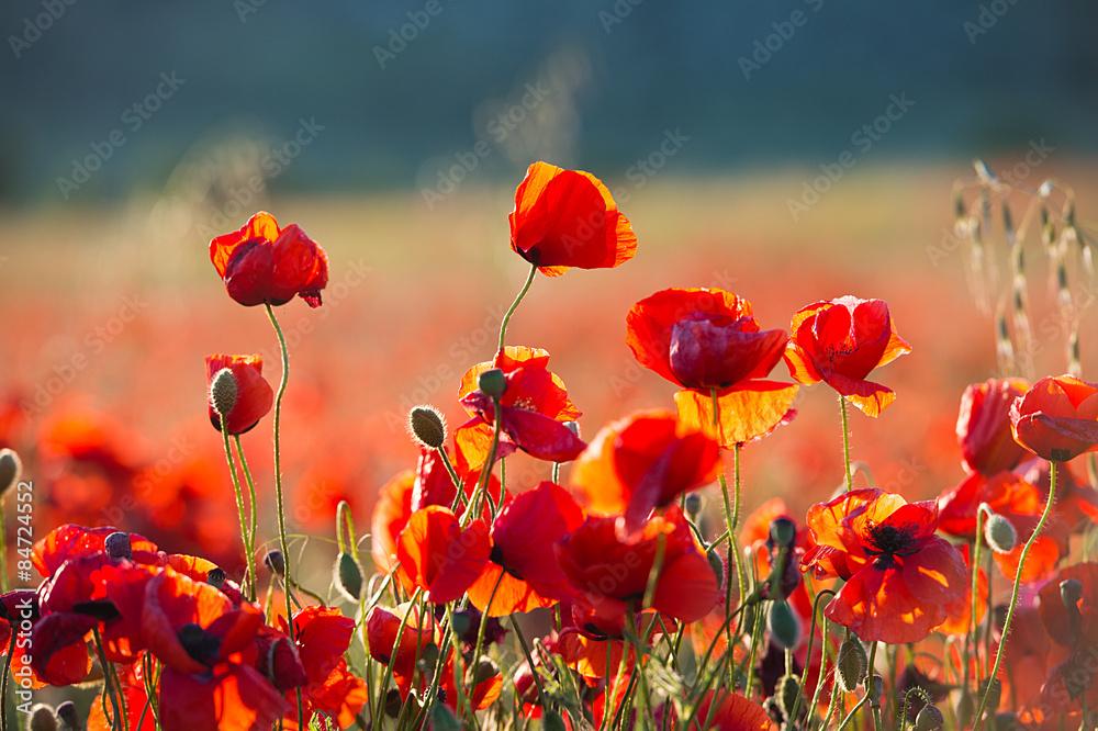 Poppies on sunset. Wild Flowers