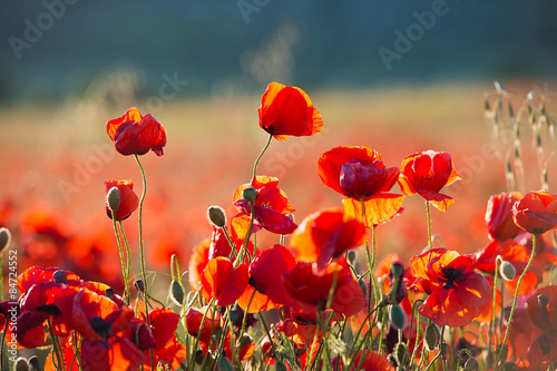 Poster Poppy Poppies on sunset. Wild Flowers