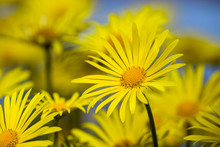 Yellow Daisies, Leopards Bane Flowers, Blooming In Spring