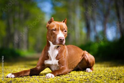 Leinwand Poster American Pit Bull Terrier