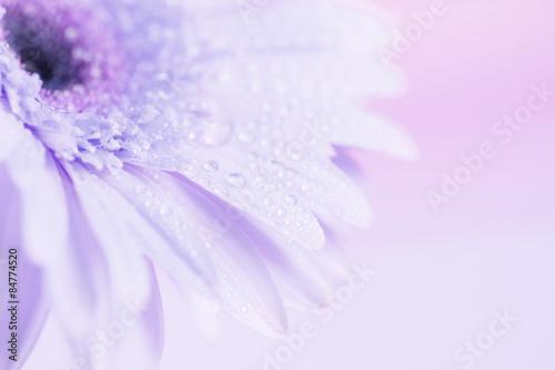 Fotobehang Gerbera Close up and selective focus of sweet pink Gerbera flower with