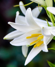 White Lilium Flower (members Of Which Are True Lilies), Close Up