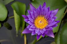 Beautiful Lotus, Purple Lotus Flower And Lotus Flower Plants.