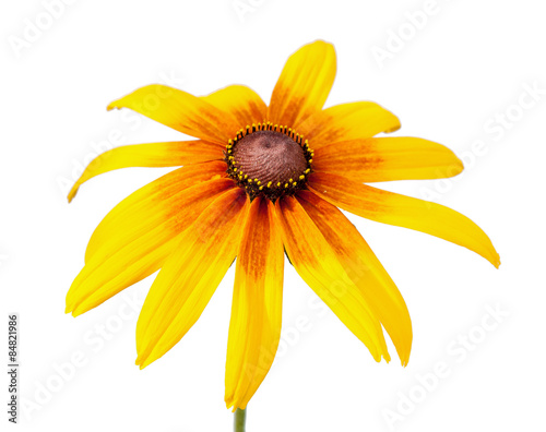 Valokuva  Flower of Rudbeckia hirta isolated on white