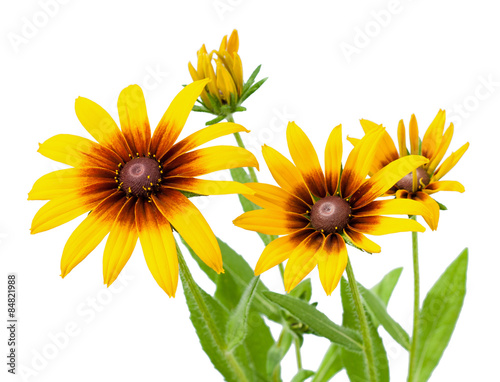 Fotografija  Flower of Rudbeckia hirta isolated on white