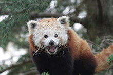 Smiling Western Red Panda (Ailurus Fulgens Fulgens)