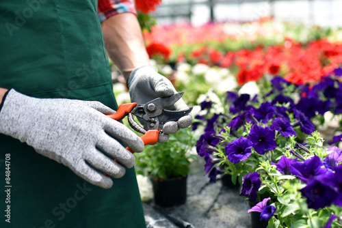 Fotografie, Obraz Gärtner mit Ausrüstung im Gewächshaus vor Blumen
