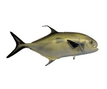 Black Tail Permit Fish Mounted With Isolated White Background