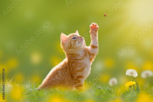 Obraz Junge Katze/Kätzchen jagd einen Marienkäfer - fototapety do salonu
