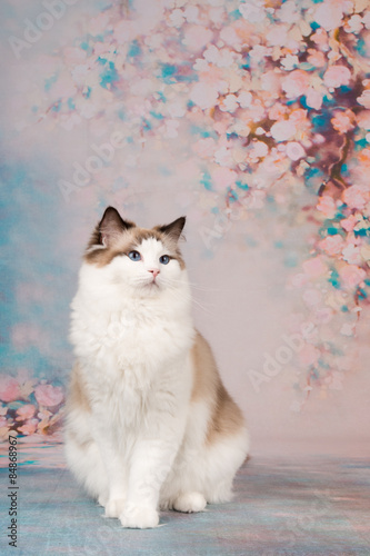 Valokuva Pretty ragdoll cat at a romantic background with flowers