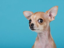 Funny Portrait Of A Cute Chihuahua Dog At A Blue Background