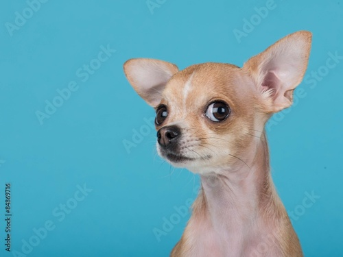 Funny portrait of a cute chihuahua dog at a blue background Wallpaper Mural