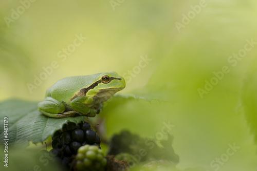 Photo Stands Frog Boomkikker rustend op een braamstruik tussen het groen