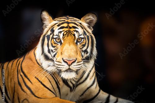 Poster Tijger Siberian tiger