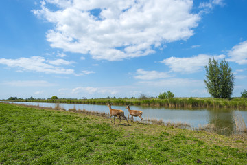 Red deer on the shore of a river in spring
