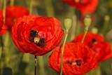 Rozkwitnięte czerwone maki