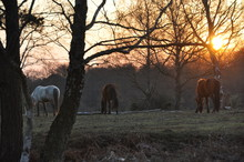 New Forest Ponies 4