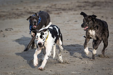 Great Danes On A Beach
