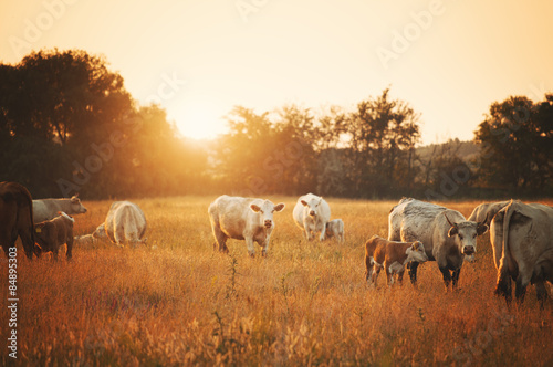 Cows on pasture Canvas