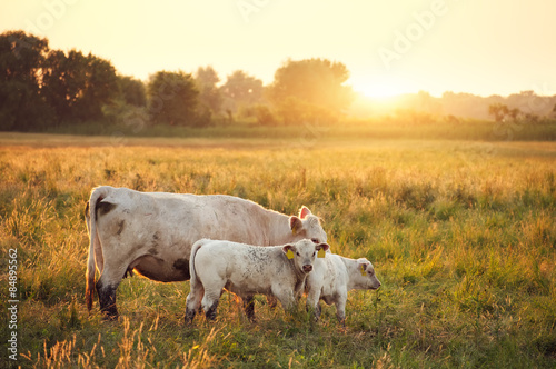Foto op Aluminium Koe Cows on pasture