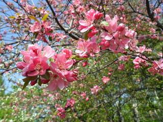 Fototapeta Drzewa Kwiat jabłoni