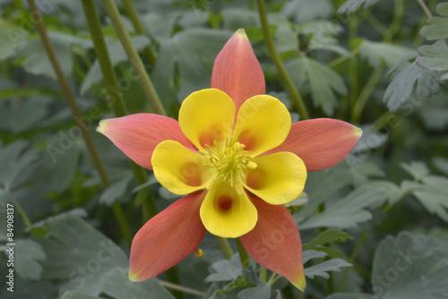 Carta da parati single yellow and orange Aquilegia in garden
