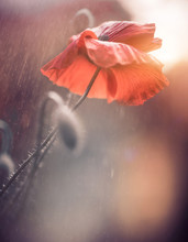 Poppy Flowers At Abstract Background