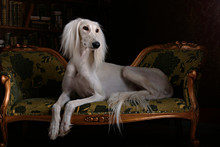 Greyhound Saluki In Royal Interior