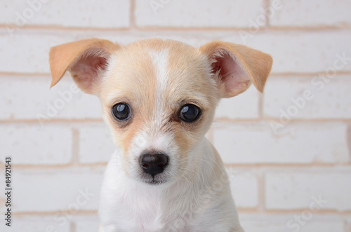 Small Brown With White Chihuahua Puppy Buy This Stock