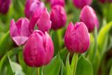 Piękne tulipany w ogrodzie