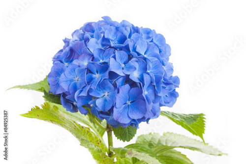 Blue Hydrangea macrophylla flower isolated on white background