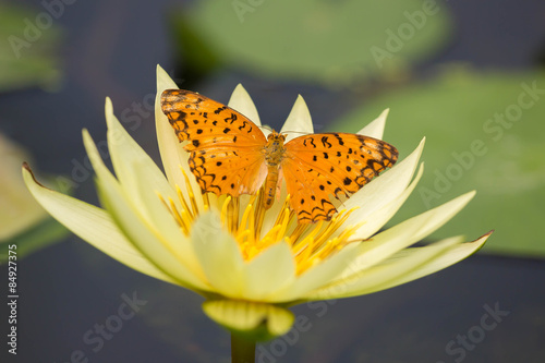 Photo  Butterfly on Lotus