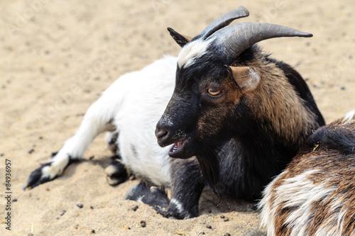 Koza z Borysewa