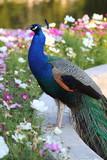 Fototapeta Zwierzęta - Paw w kwiatach