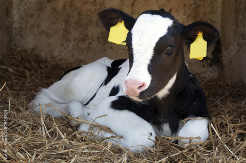 Canvas young black and white calf lies in straw and looks alert