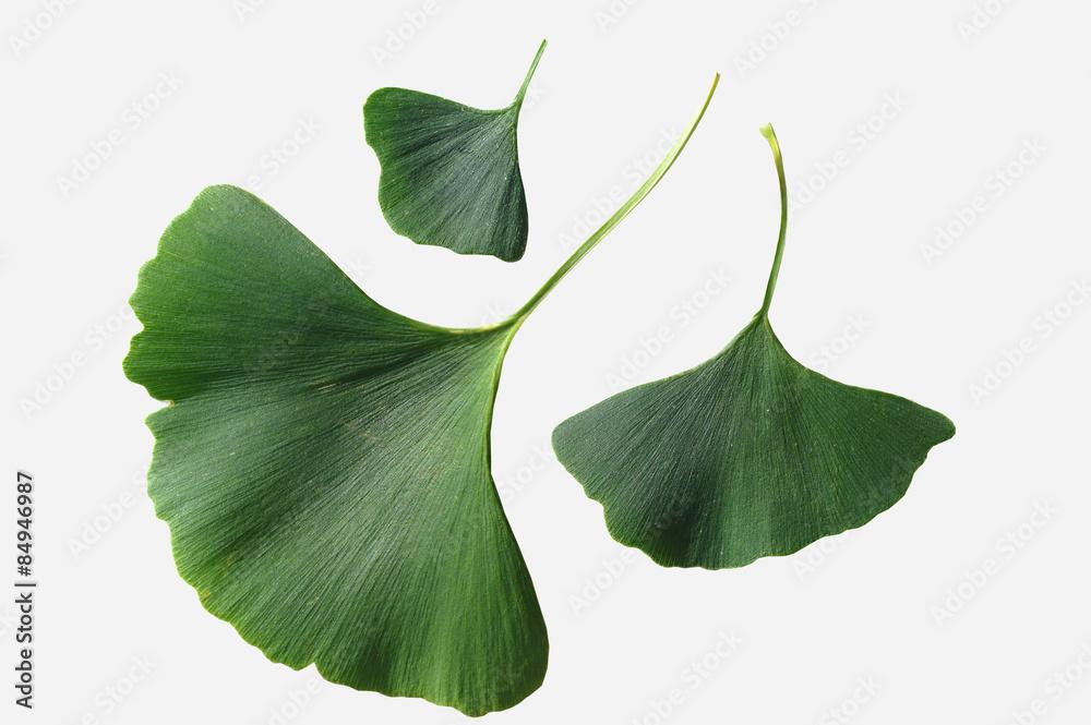 Fototapeta Ginkgo biloba leaves on a white background