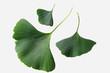 Ginkgo biloba leaves on a white background