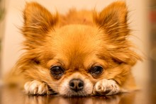 Long Haired Chihuahua At Chris...