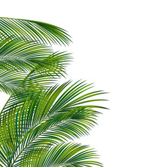 Palm tree foliage isolated on white