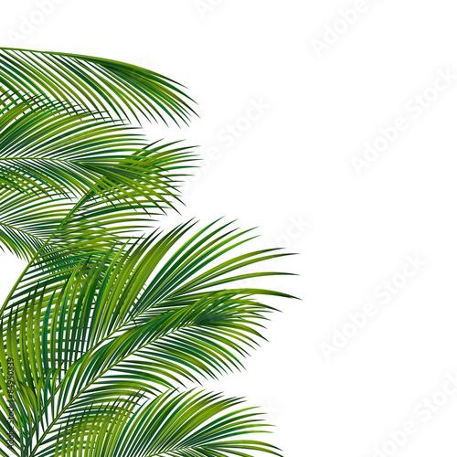 Palm tree foliage isolated on white