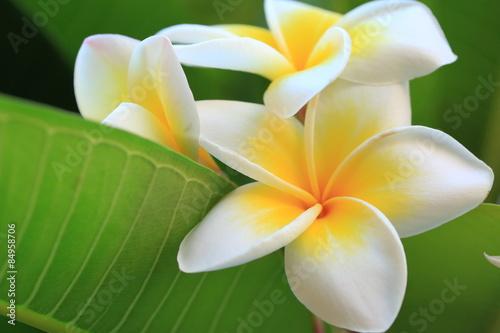 Obraz na plátne frangipani flower